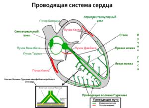 Аритмия и брадикардия у ребенка