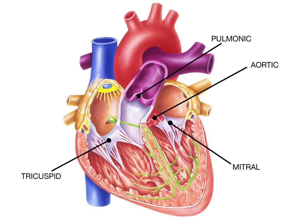 Недостаточность аортального клапана сердца: 1, 2, 3 степени, лечение, причины, симптомы, как лечится - про кровь